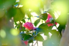 枝葉に隠れて咲く椿