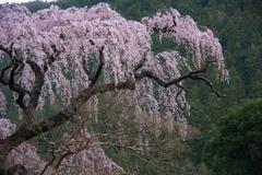 身延山 枝垂桜