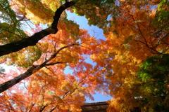 仰ぎ見る秋彩