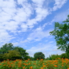 マリーゴールドと秋の空