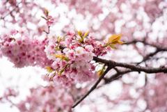 上野恩賜公園の桜は早くも満開【スルーででOK!!】