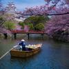 桜の堀を行く和船