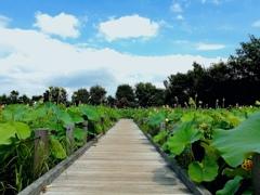 蓮池散歩(1)