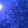 月明りと山桜