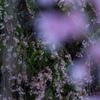 しだれ桜 妖精