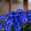 フルーエトワール 青の小輪