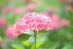 住吉神社の紫陽花
