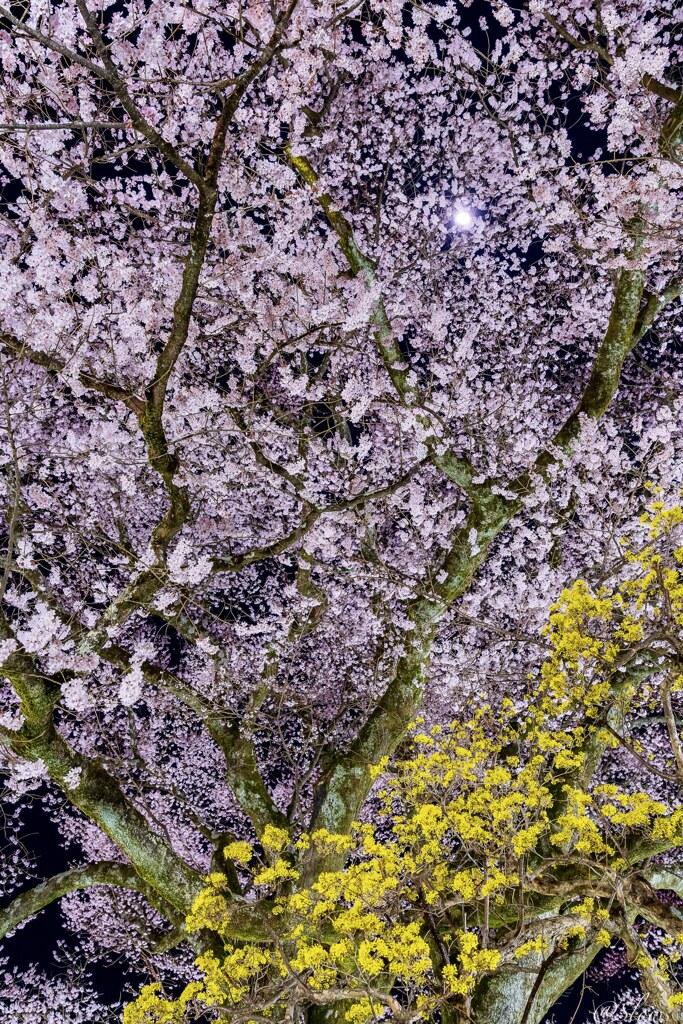 南信州桜探訪 月と安富桜