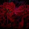 情熱の幽霊花