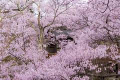 南信州桜探訪 高遠さくら路