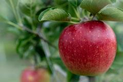りんご始めました
