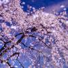 南信州桜探訪 光善寺REFLECTION