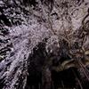 南信州桜探訪 くよとの枝垂れ桜4