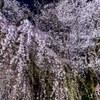 南信州桜探訪  桜丸の夫婦桜 その1