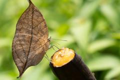 落ち葉はバナナを喰らうのだの巻