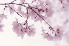 南信州桜探訪 コヒガン桜