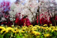 春 たんぽぽの林