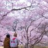 南信州桜探訪  桜を満喫