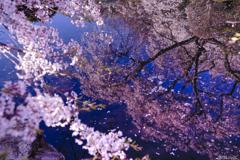 南信州桜探訪 Last 光善寺の春