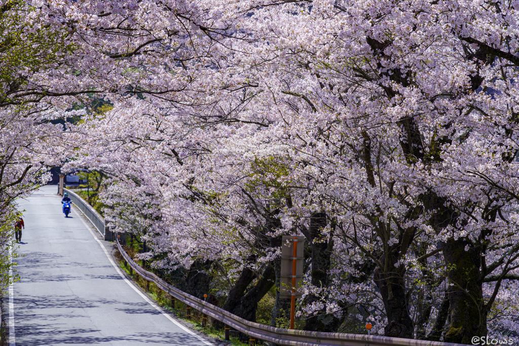 南信州桜探訪 日本で最も美しい村