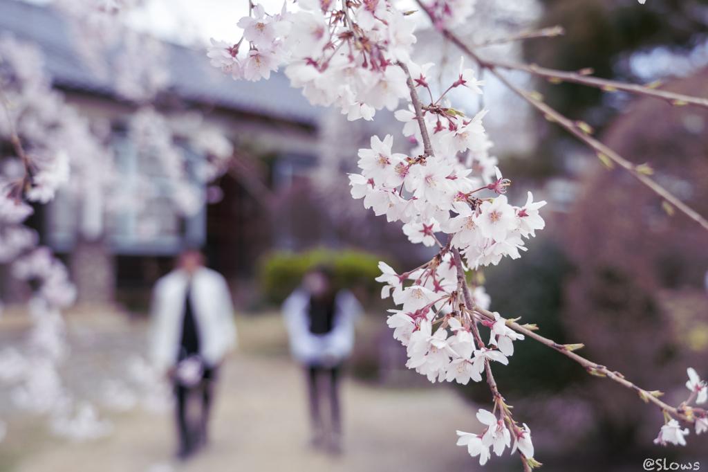 南信州桜探訪  春の思いで