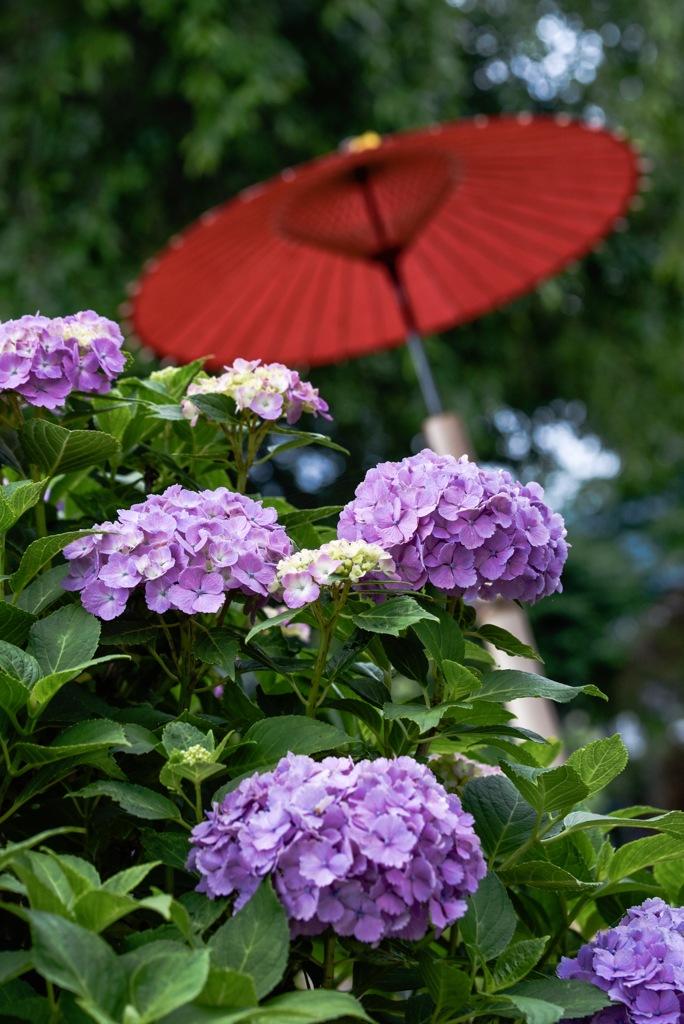 紫陽花と傘