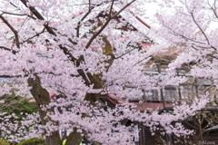 南信州桜探訪 高遠城址