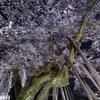 南信州桜探訪 桜丸の夫婦桜 その2