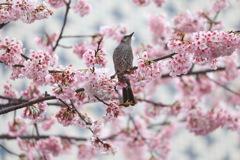 ヒヨドリ桜1