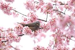 ヒヨドリ桜2