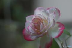 白ピンク色のバラ、その後