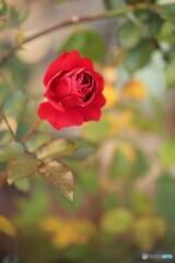 今年最後の薔薇ー1