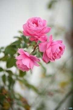 今年最後の薔薇ー2