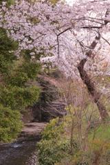 新郷瀬川と桜