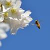 ミツバチと桜