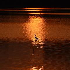 夕陽とサギ