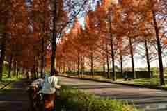 太陽が丘 メタセコイア並木