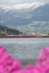 芝桜と水田の見える景色