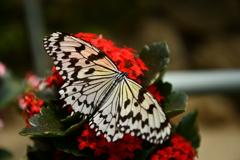 蝶々を撮るのは屋内