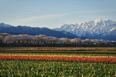 富山朝日町舟川べり 春の四重奏