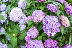 蜘蛛と紫陽花