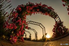 斜陽の薔薇
