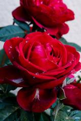 艶やかな薔薇