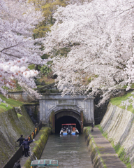 琵琶湖疎水の春