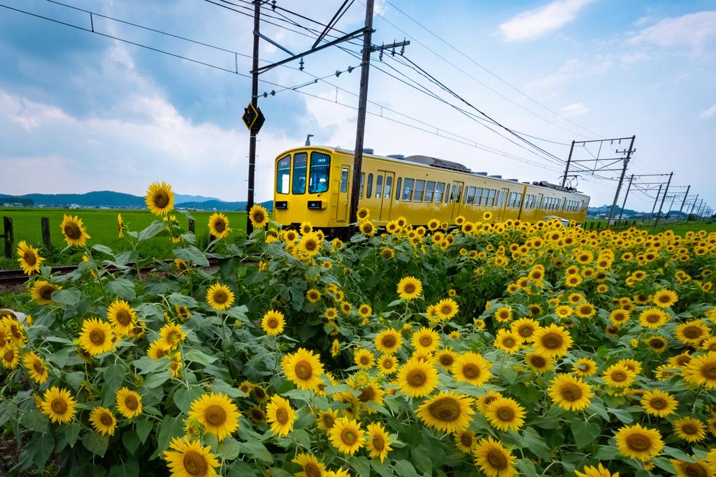 ひまわり色の電車