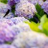 枯れ紫陽花とトンボ