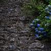 石の上にも紫陽花