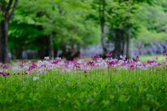 クリンソウの花が咲く