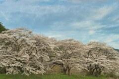 佐柄見の桜 2
