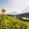 筑波山と菜の花